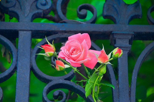 Rose and Gate